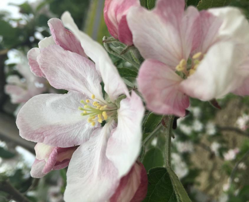 Gerbehof Biohotel Bodensee Apfelblüte